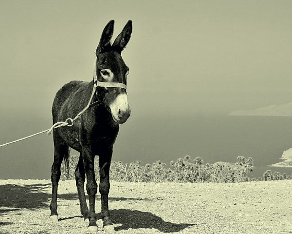 Donkey – traditional Dalmatia