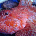 Red scorpion fish