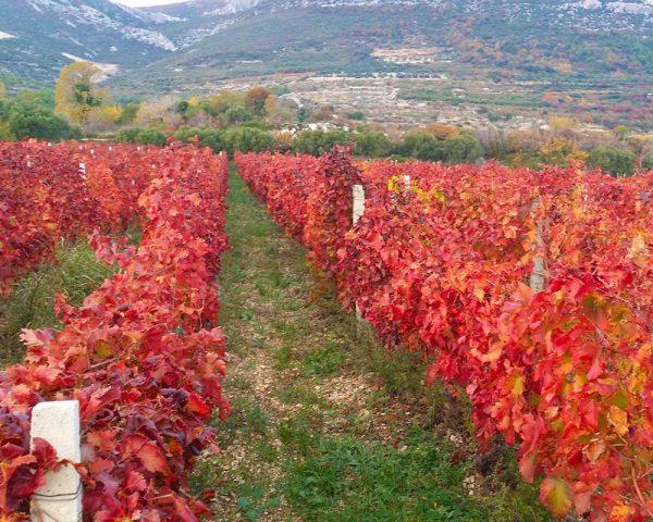 wineyard-Kastela-winetoursplit