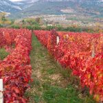 wineyard-Kozjakslopes-winetoursplit