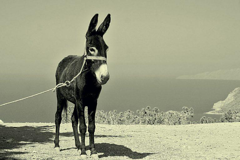 Donkey – traditional Dalmatia