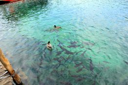 Ducks and fishes in Plitvice lakes