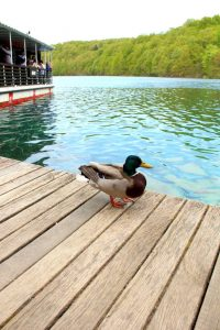 duck on the pier at Plitvice lakes