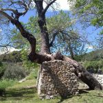 BiblicalGarden-TreeSupportedbyStoneWall-WineTastingTour-toursfromsplit