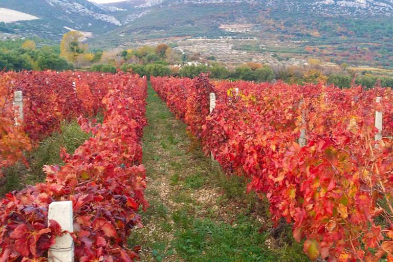 wineyardZimfandelgrape